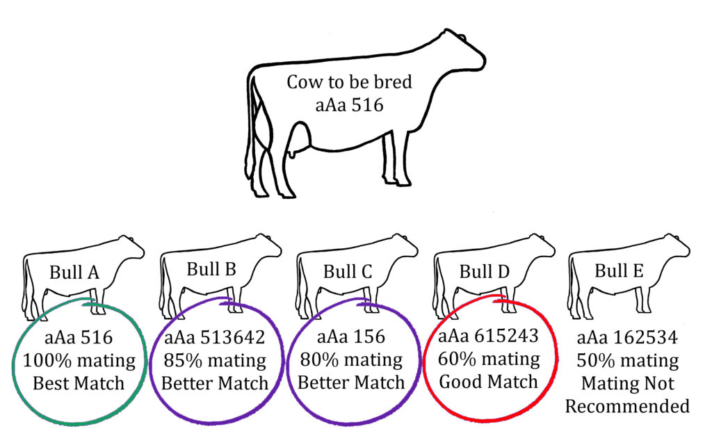 bull selection example